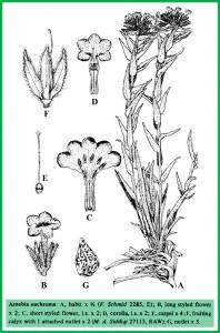 Arnebia euchroma