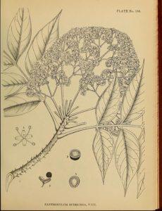 Zanthoxylum budrunga