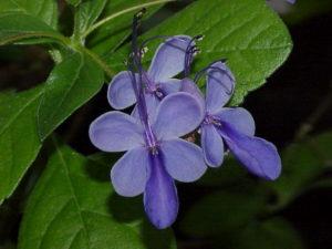 Rotheca myricoides