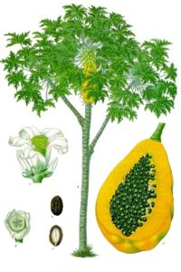 Carica_papaya