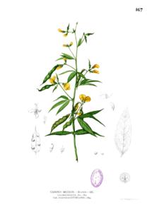 Cajanus cajan