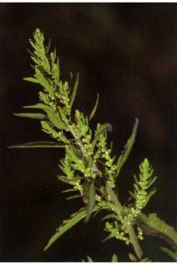 Dysphania ambrosioides, formerly Chenopodium ambrosioides