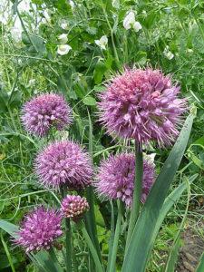 Allium carolinianum