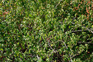 Acalypha fruticosa